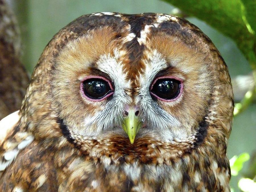 [Obrazek: tawny-owl-rosie-hall.jpg]