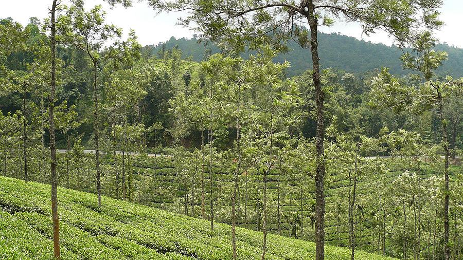 Tea Photograph - Tea Garden - 2 by Sandeep Gangadharan