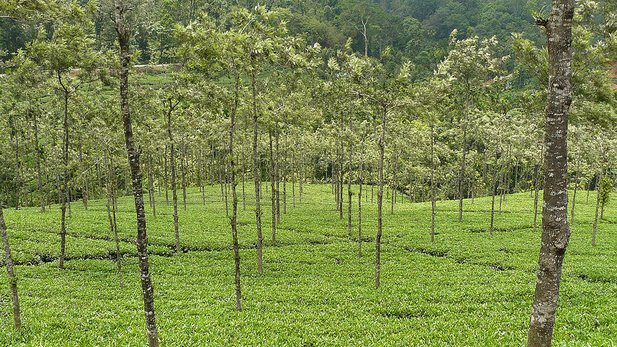 Tea Photograph - Tea Garden - 3 by Sandeep Gangadharan