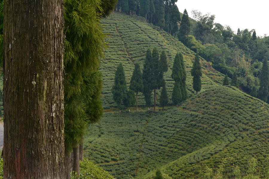 Landscape Photograph - Tea Garden In Darjeeling by Atul Daimari