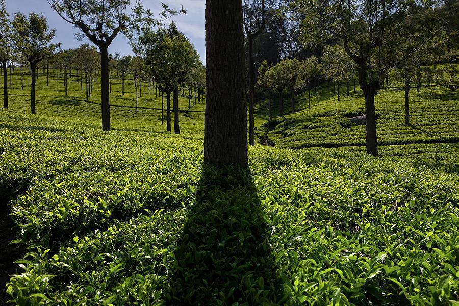 India Photograph - Tea by Marji Lang