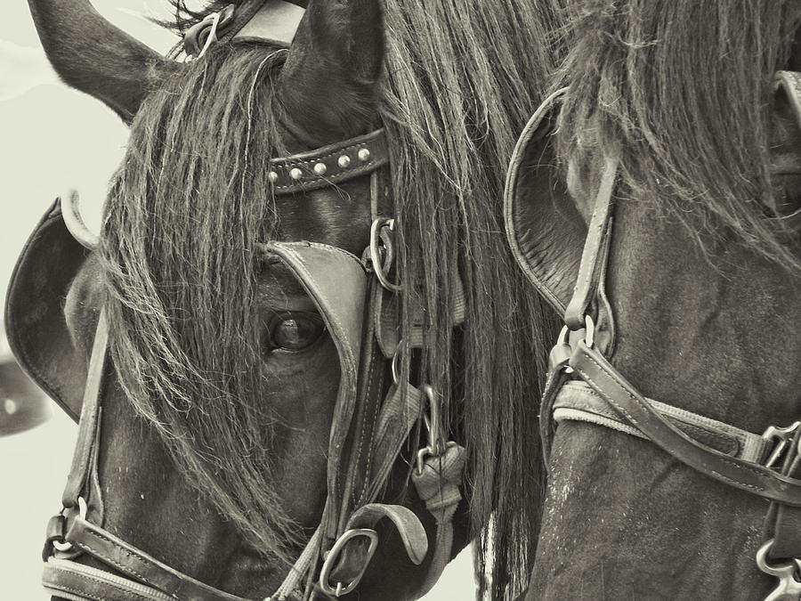Blinders Photograph - Team For Hire by Dressage Design