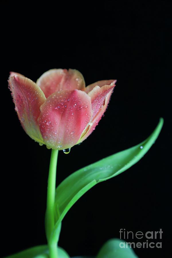 Dew Photograph - Teardrop Tulip by Tracy Hall