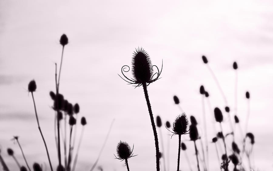 Teasel Photograph - Teasels In A French Field  II by Gareth Davies