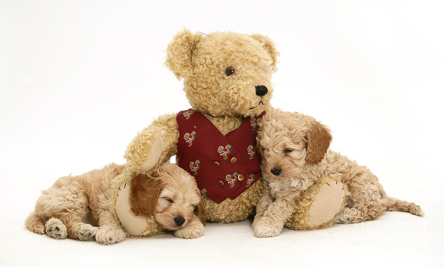 Animal Photograph - Teddy Bear With Puppies by Jane Burton