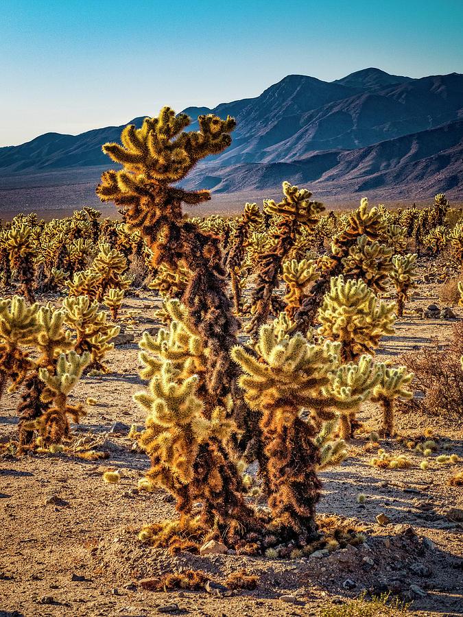 Teddy Bear Cactus Photograph - Teddy Bears by Sandra Selle Rodriguez