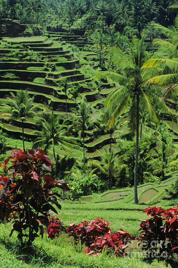 Agriculture Photograph - Tegalalang, Bali by William Waterfall - Printscapes