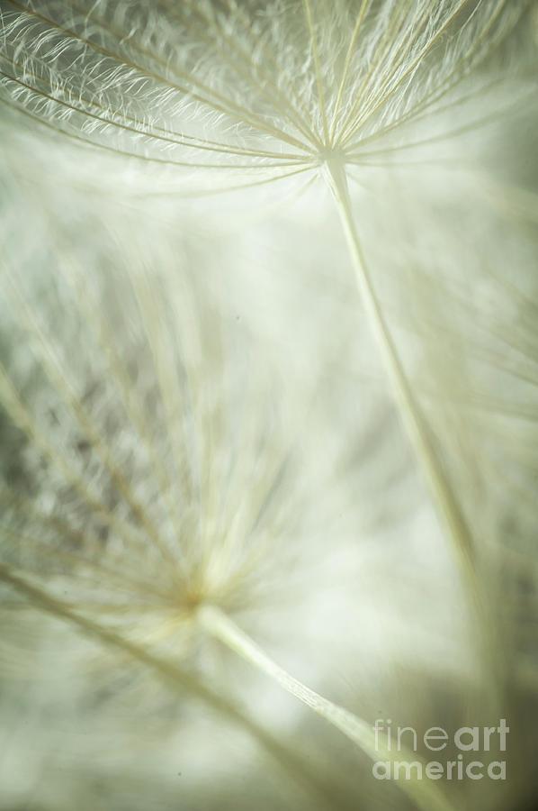 Dandelions Photograph - Tender Dandelion by Iris Greenwell