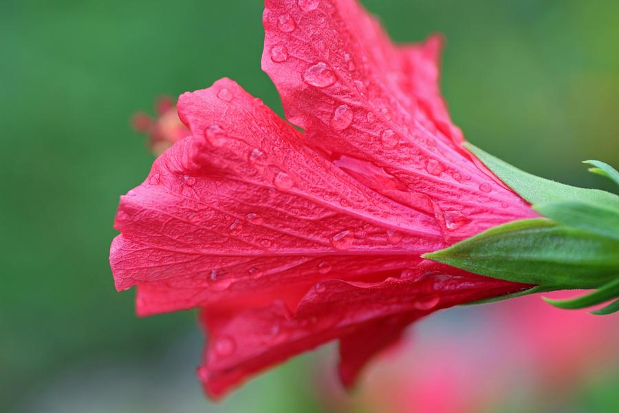 Hibiscus Photograph - Tender Tears by Michiale Schneider