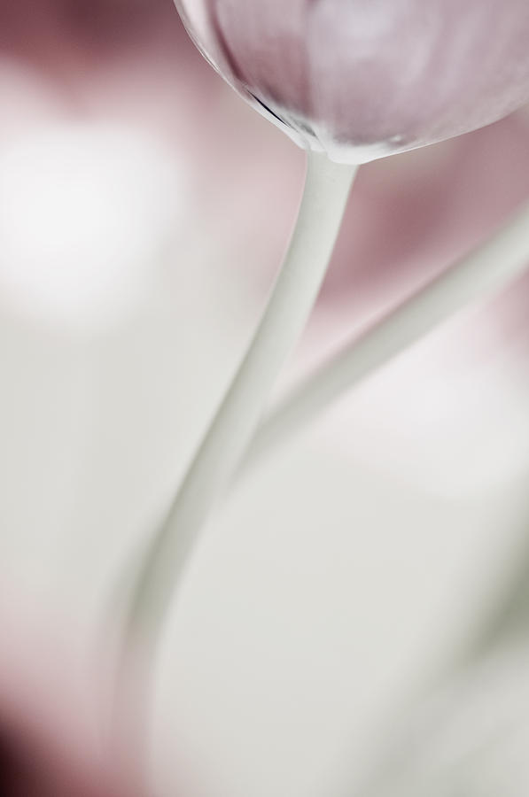 Flower Photograph - Tender Tulip by Silke Magino