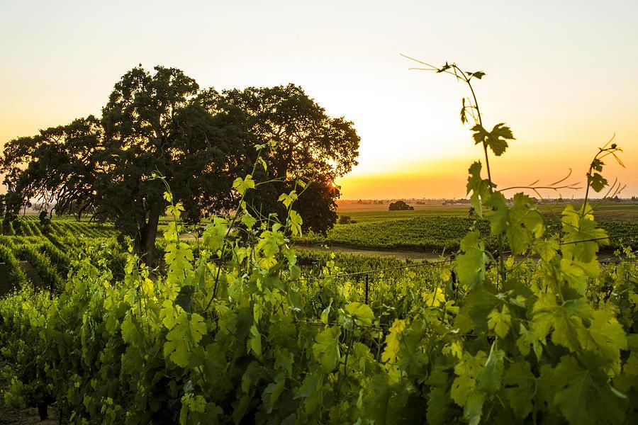Grapes Photograph - Tendrils Kissing Sun by Nicholas Karavidas