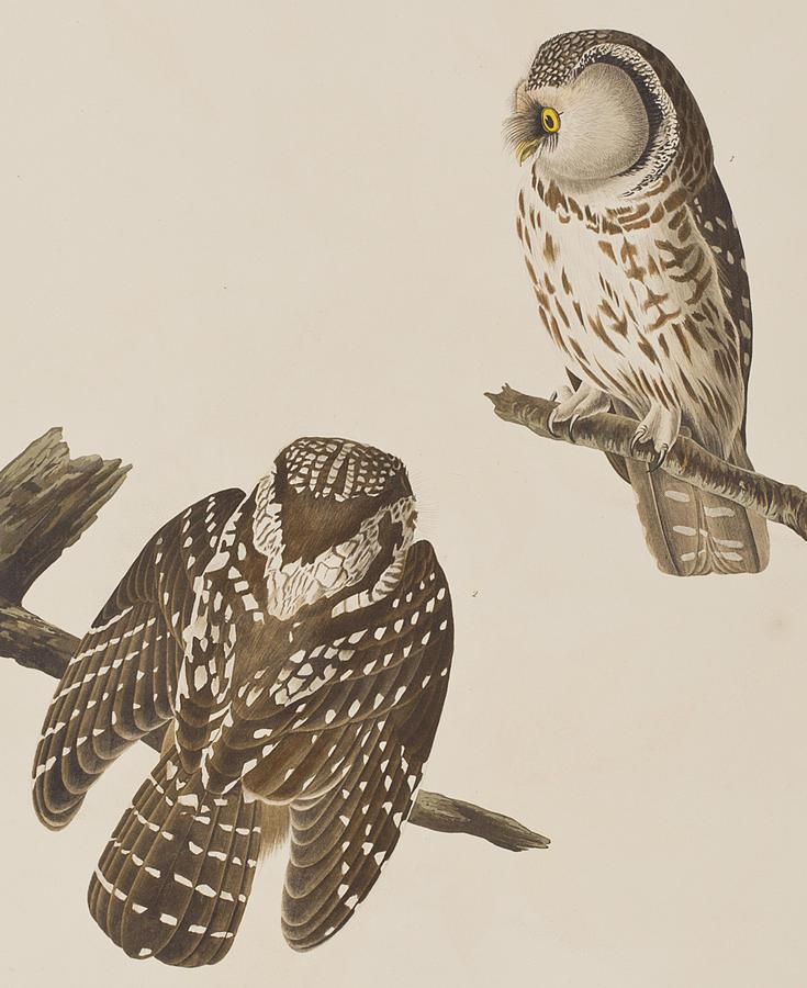 Owl Painting - Tengmalms Owl by John James Audubon