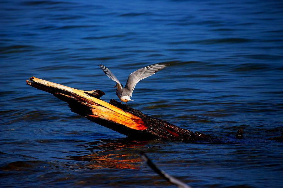 Bird Photograph - Tern Around by Amanda Struz
