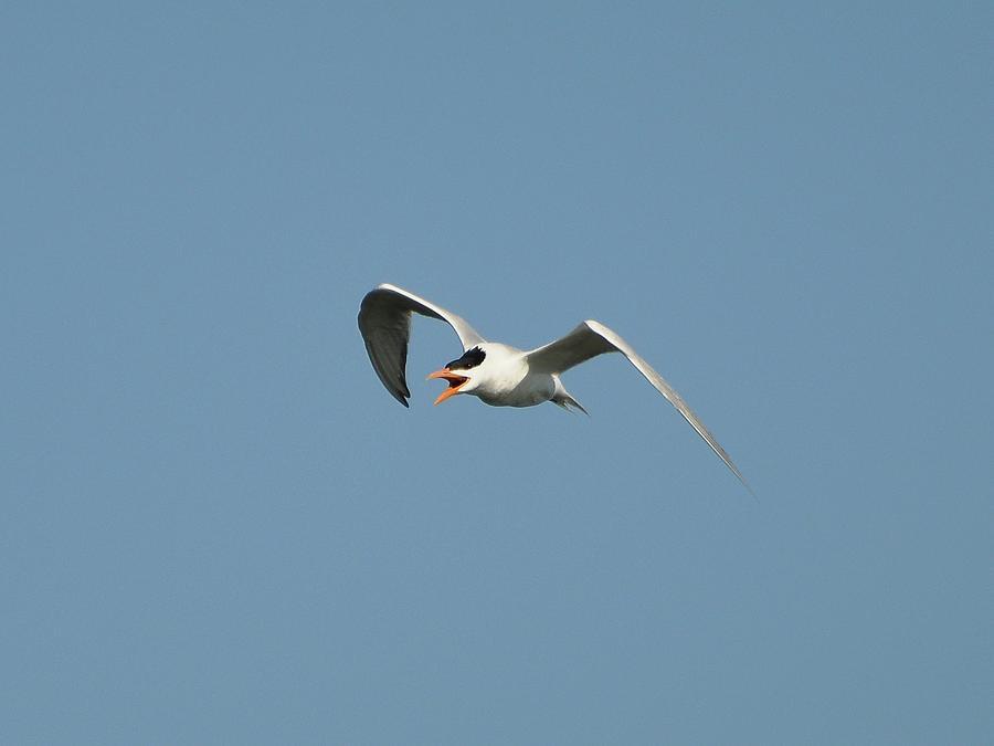 Tern Photograph - Tern Flight 02 by Al Powell Photography USA