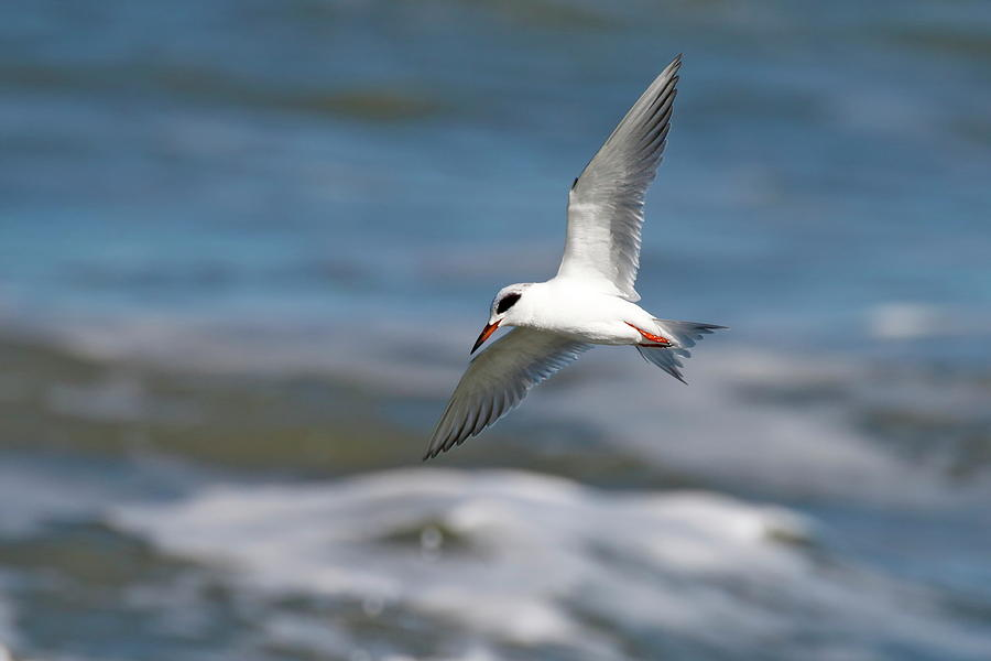 Bird In Flight Photograph - Tern Over The Waves by Daniel Caracappa