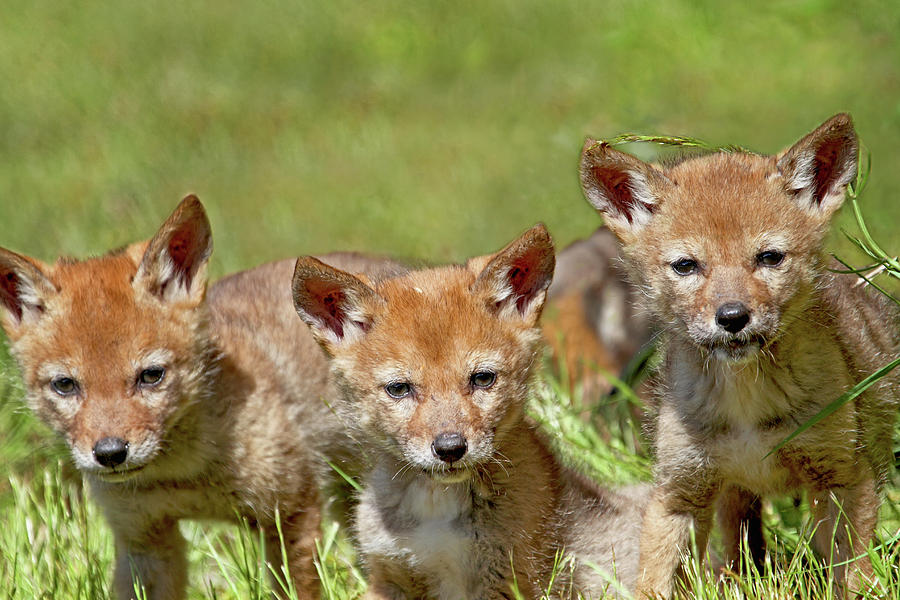baby coyotes for sale - 900×600