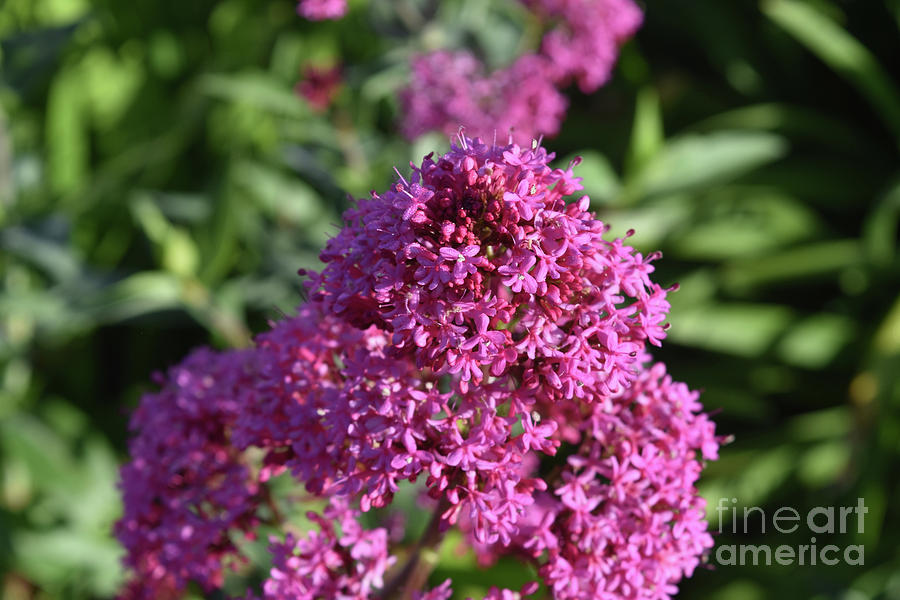 Phlox Photograph - Terrific Cluster Of Blooming Pink Phlox Flowers by DejaVu Designs