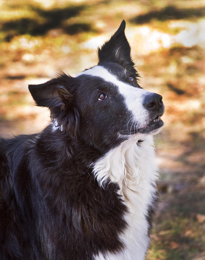 Border Collie Photograph - Tessie 8 by Rich Franco