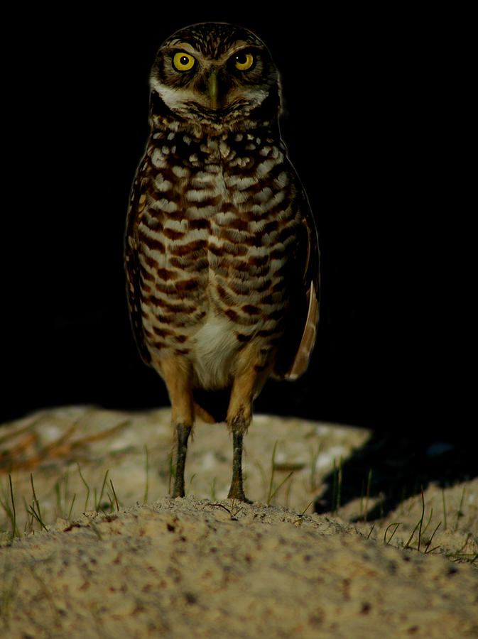 Burrowing Owl by David Weeks