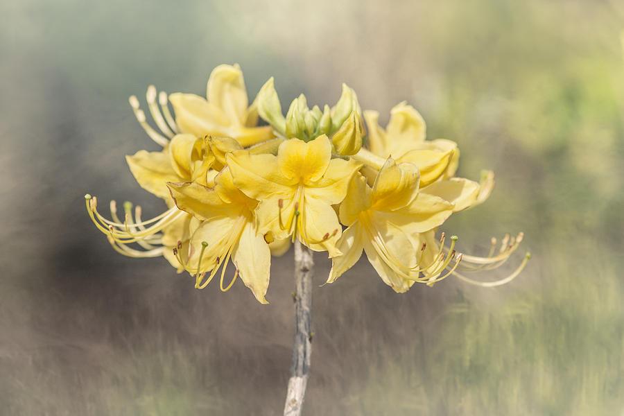 Texas Azalea -Textured by Kathy Adams Clark