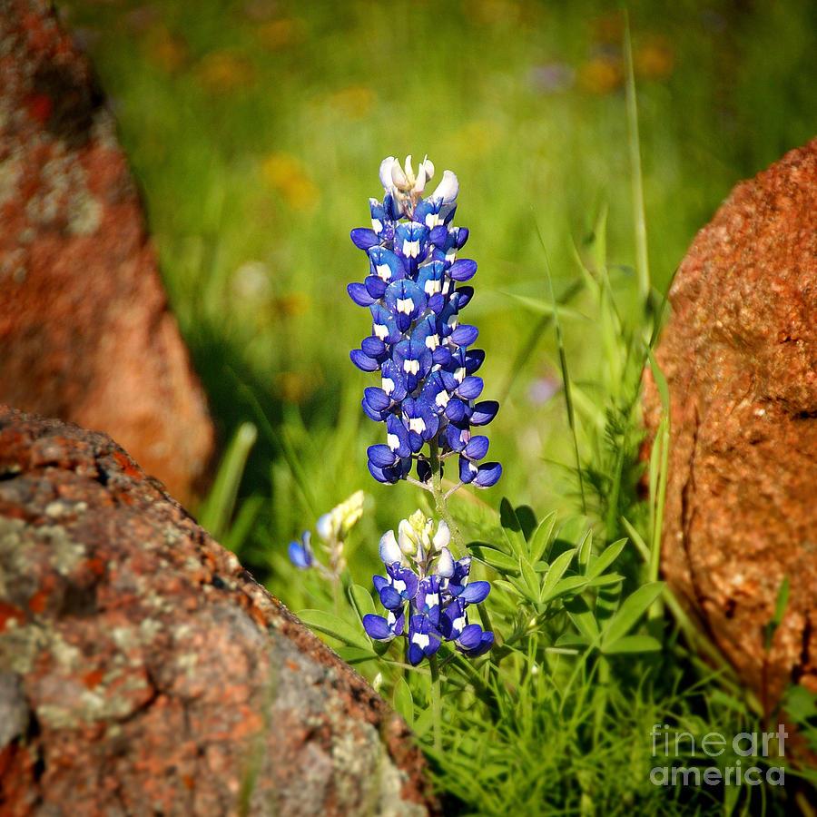 Landscape Photograph - Texas Bluebonnet by Jon Holiday