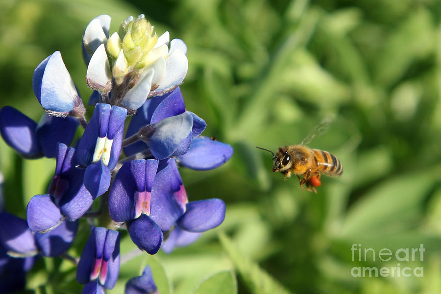 Bee Photograph - Texas Bluebonnet Maneuvers by N Faulkner