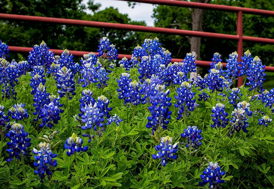 Texas Bluebonnets in Ennis by Robert Bellomy