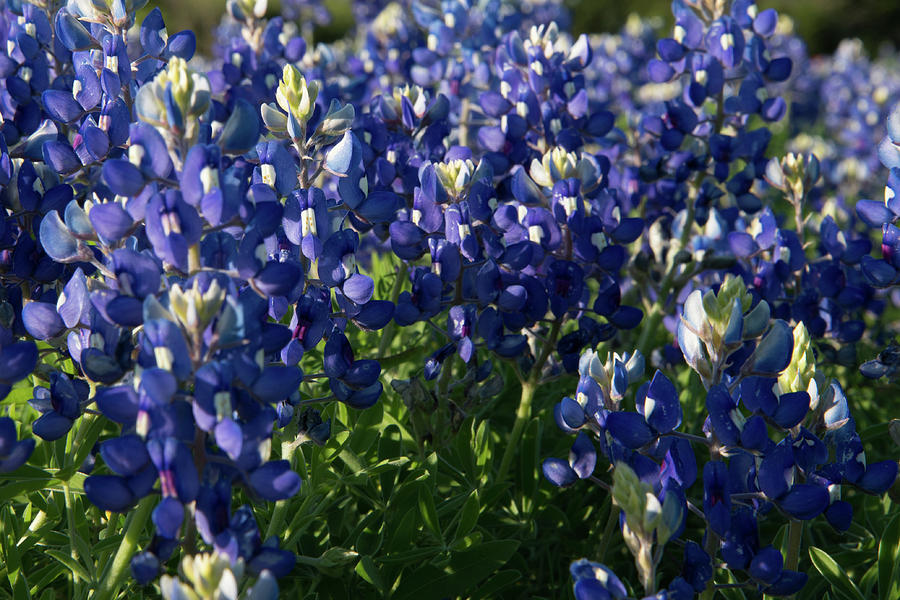 Bluebonnet Photograph - Texas Bluebonnets In The Sun by Frank Madia