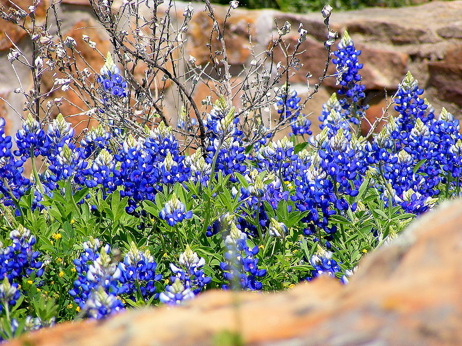 Texas Bluebonnets Photograph - Texas Bluebonnets by Sherwanda Irvin