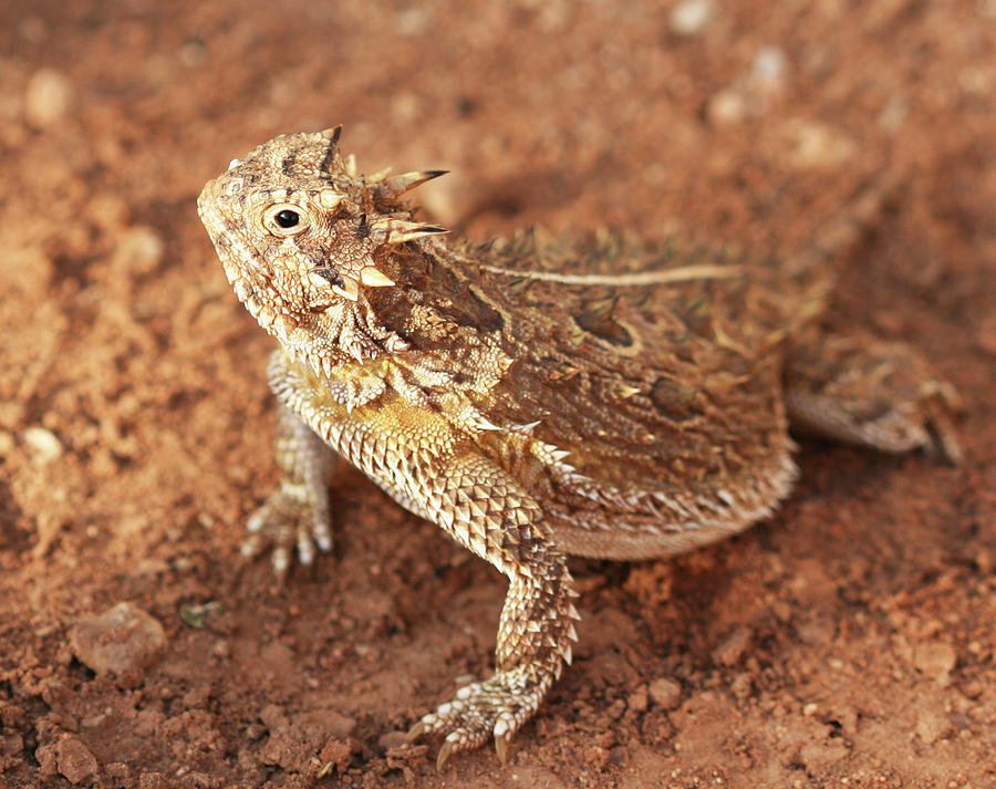 Animal Photograph - Texas Horned Lizard by Derrick Neill