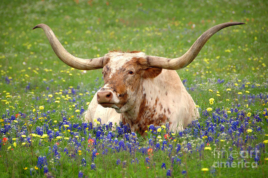 Texas Longhorn In Bluebonnets Photograph - Texas Longhorn in Bluebonnets by Jon Holiday