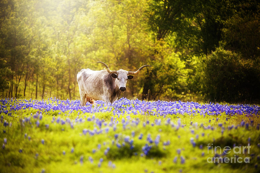Texas Longhorn In Dreamy Light Photograph