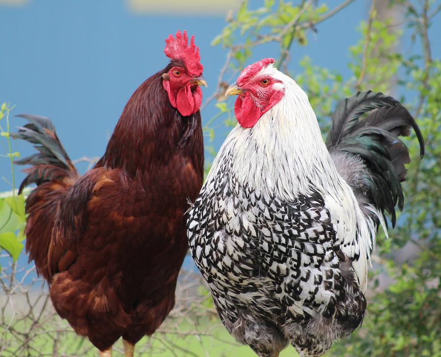 Rooster Photograph - Texas Roosters by Beth Wiseman
