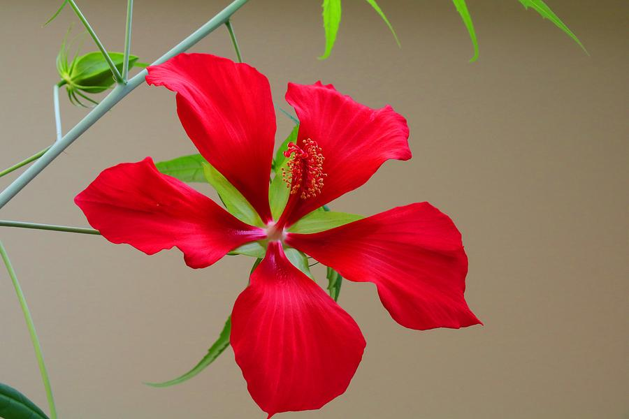 Texas Star Hibiscus Photograph By Kathryn Meyer