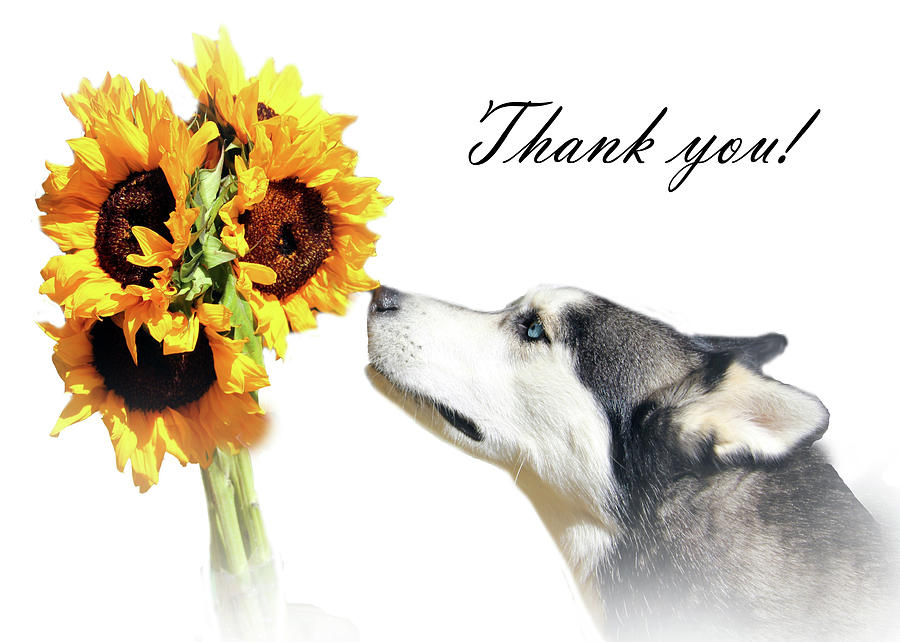 Thank You Husky And Sunflowers Photograph by Stephanie Laird