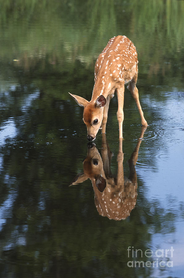 Deer Photograph - That Must Be Me by Sandra Bronstein