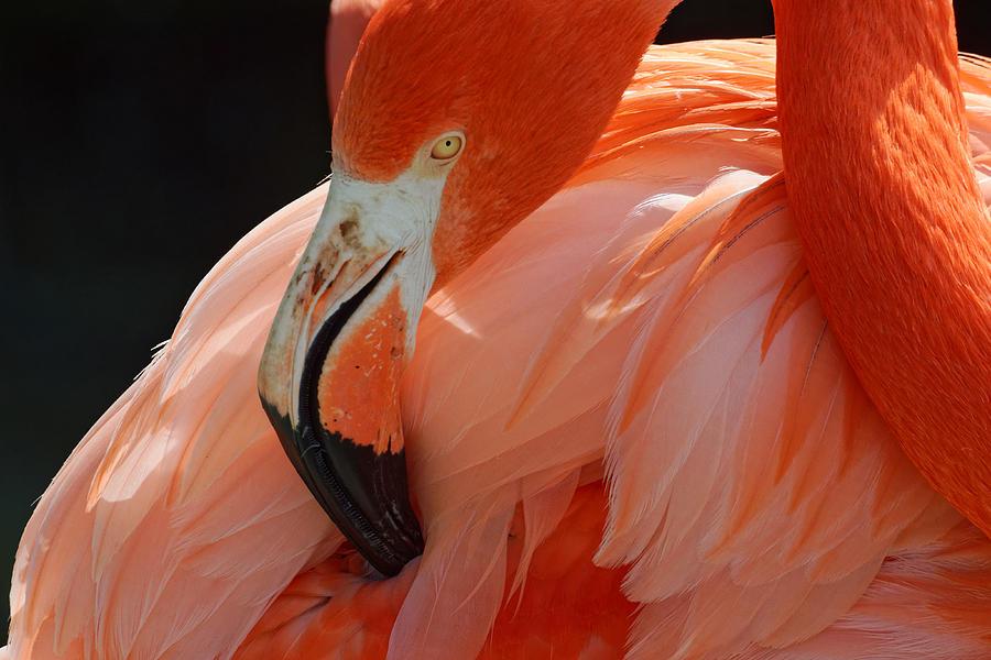 That's the Spot -- American Flamingo at Charles Paddock Zoo in Atascadero, California by Darin Volpe