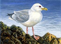 Birds Painting - Thayers Gull Aceo by Shari Erickson
