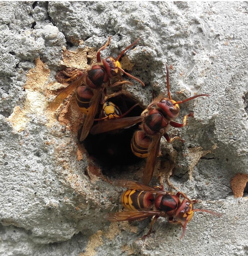 The 4 Hornets Photograph