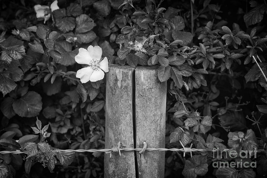 Flower Photograph - The Allotment Project - Dog Rose by Clayton Bastiani