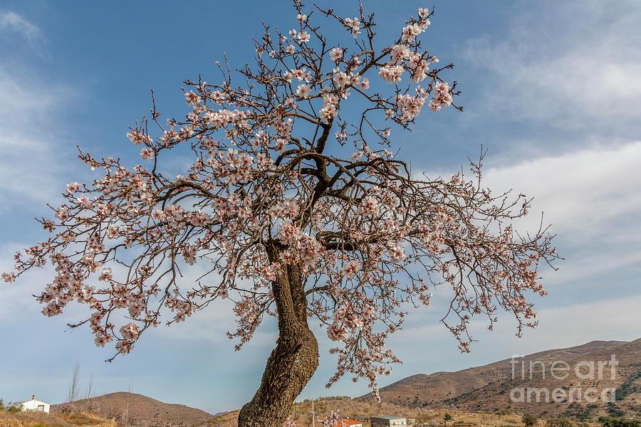 The Almond Tree Photograph