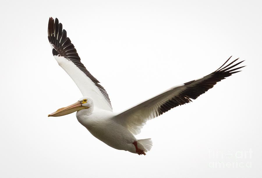 Bird Photograph - The Amazing American White Pelican by Ricky L Jones