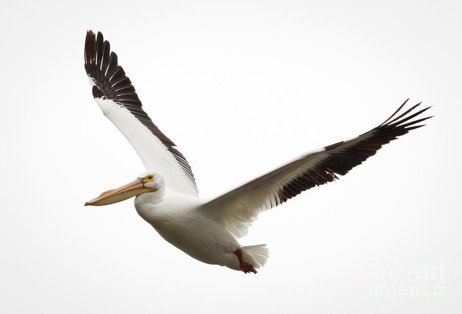 Bird Photograph - The Amazing American White Pelican by Ricky L Jones