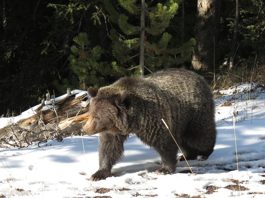 The American Grizzly Photograph by George Bannister