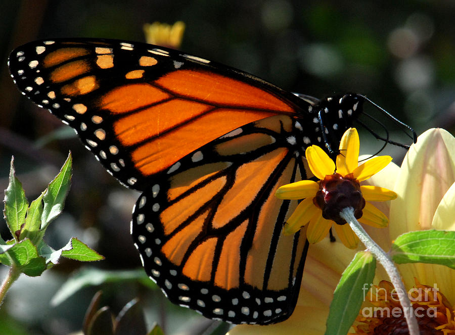 Butterfly Photograph - The American Monarch by Terri Creasy
