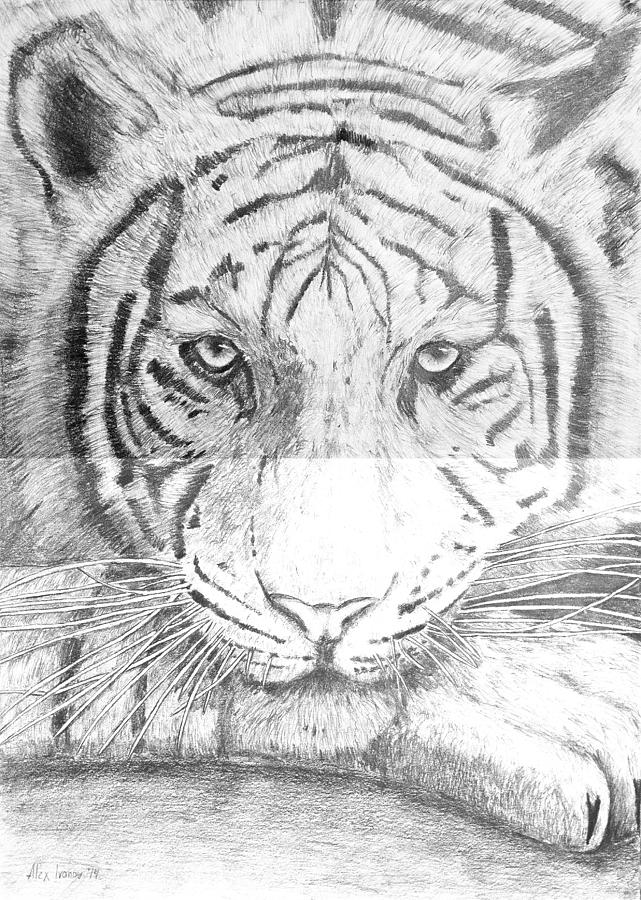 Tiger Drawing - The Amur Tiger by Alexander Ivanov