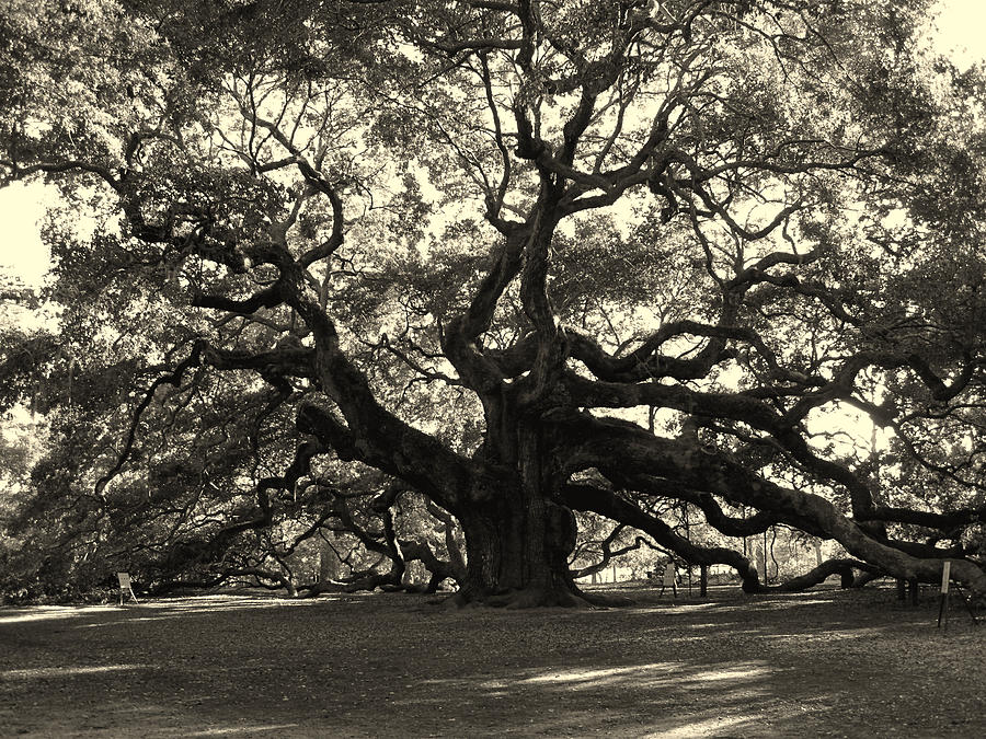 Angel Oak Photograph - The Angel Oak by Susanne Van Hulst