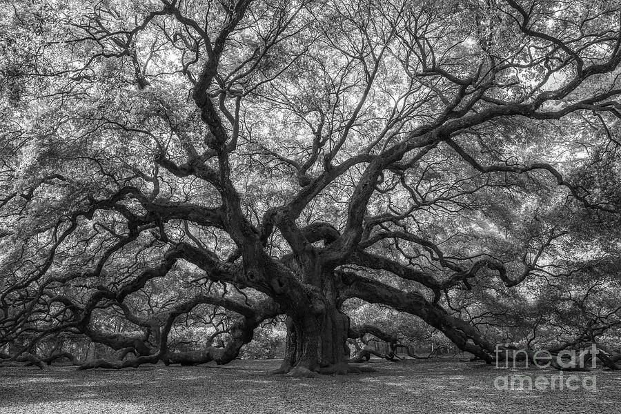 The Angel Oak Tree Bw Photograph