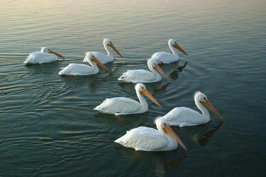 Pelicans Photograph - The Armada by Robert Anschutz