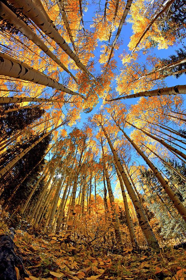 Aspen Trees Photograph - The Aspens Above - Colorful Colorado - Fall by Jason Politte